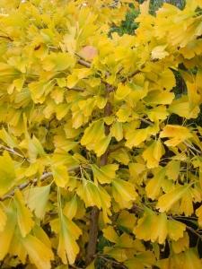 Gingko 'Saratoga', a fantastic deciduous tree!